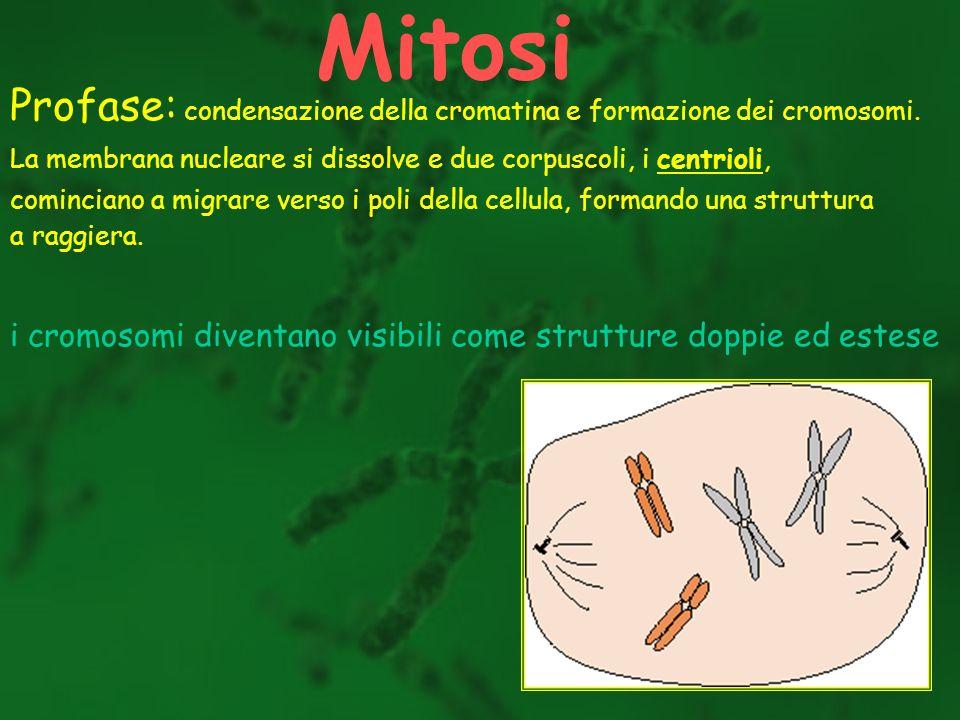 Profase: condensazione della cromatina e formazione dei cromosomi. La membrana nucleare si dissolve e due corpuscoli, i centrioli, cominciano a migrar