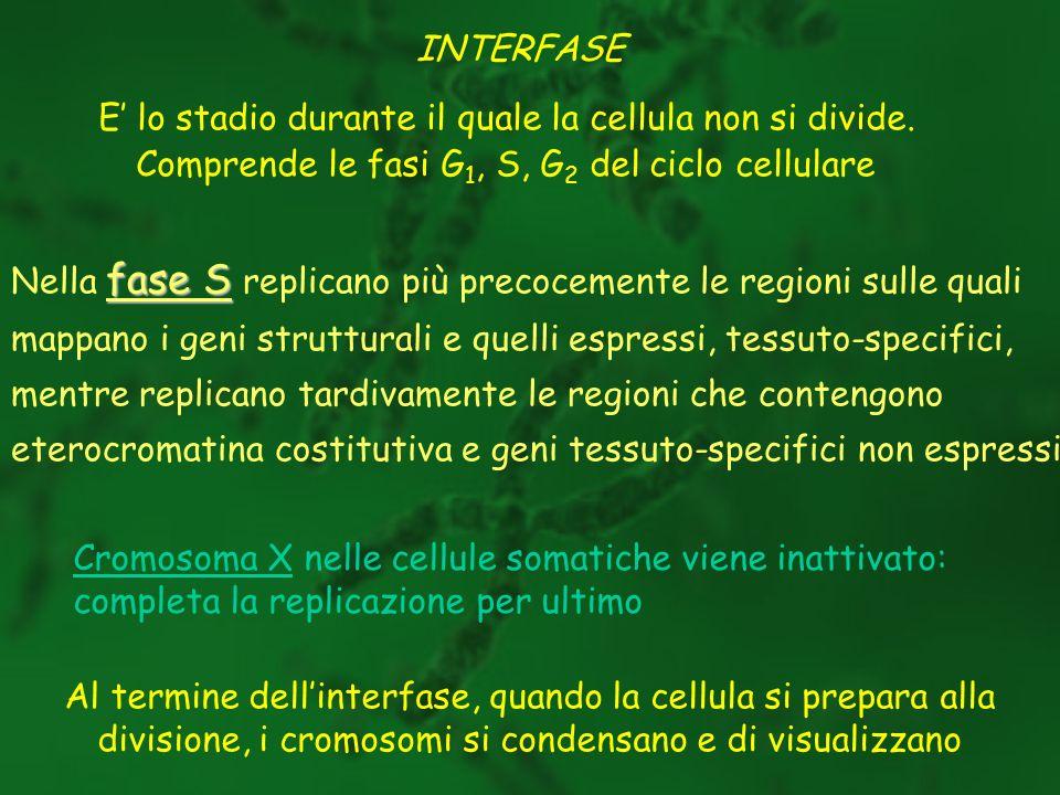 INTERFASE E lo stadio durante il quale la cellula non si divide. Comprende le fasi G 1, S, G 2 del ciclo cellulare fase S Nella fase S replicano più p