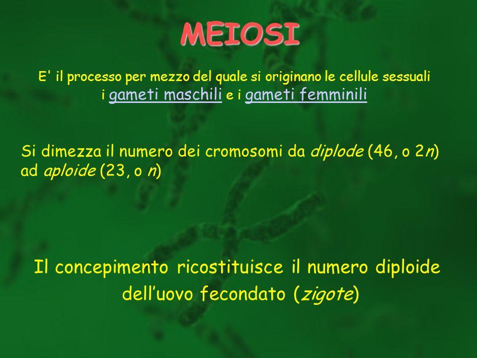 MEIOSI E' il processo per mezzo del quale si originano le cellule sessuali i gameti maschili e i gameti femminili gameti maschili gameti femminili Si