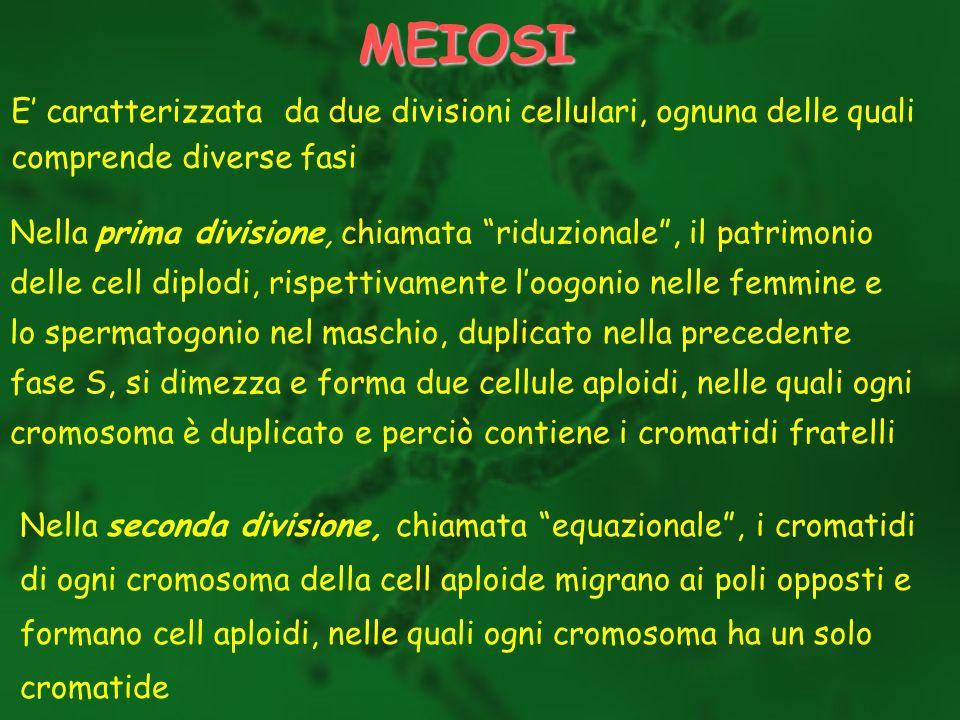 MEIOSI E caratterizzata da due divisioni cellulari, ognuna delle quali comprende diverse fasi Nella prima divisione, chiamata riduzionale, il patrimon