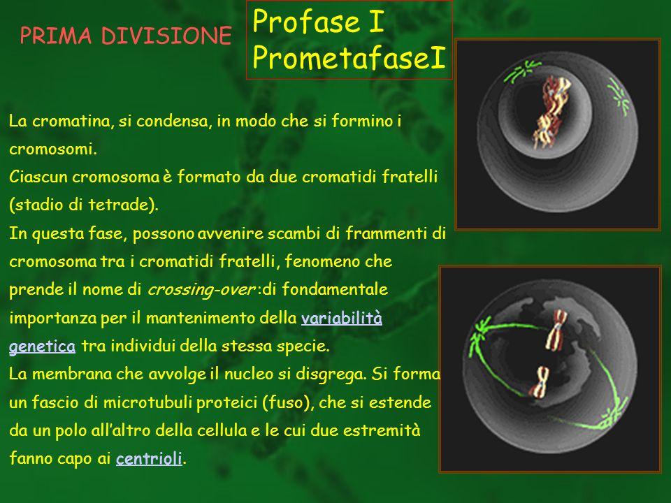 PRIMA DIVISIONE Profase I PrometafaseI La cromatina, si condensa, in modo che si formino i cromosomi. Ciascun cromosoma è formato da due cromatidi fra