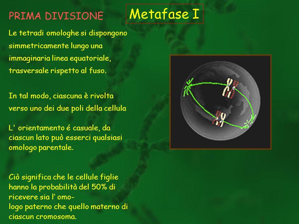 PRIMA DIVISIONE Metafase I Le tetradi omologhe si dispongono simmetricamente lungo una immaginaria linea equatoriale, trasversale rispetto al fuso. In