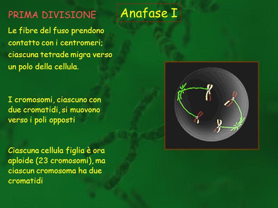 PRIMA DIVISIONE Anafase I Le fibre del fuso prendono contatto con i centromeri; ciascuna tetrade migra verso un polo della cellula. I cromosomi, ciasc