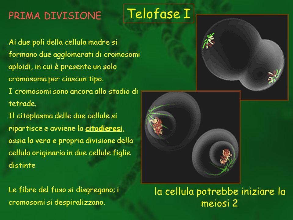 PRIMA DIVISIONE Telofase I Ai due poli della cellula madre si formano due agglomerati di cromosomi aploidi, in cui è presente un solo cromosoma per ci