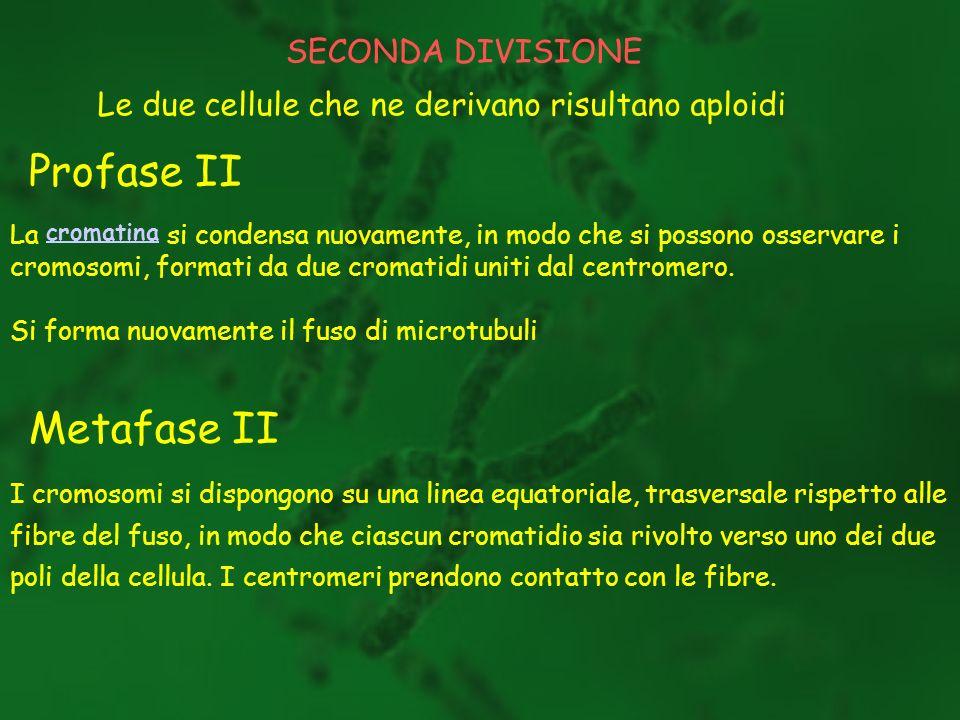 SECONDA DIVISIONE Le due cellule che ne derivano risultano aploidi Profase II La cromatina si condensa nuovamente, in modo che si possono osservare i