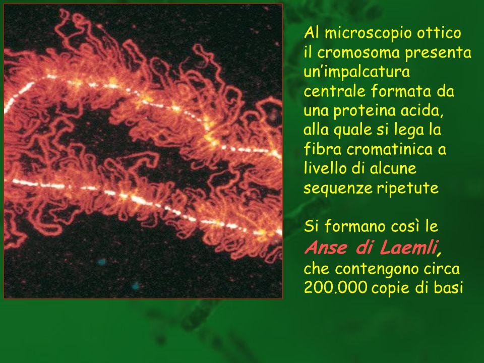 Queste anse fuoriescono dallimpalcatura e formano il corpo della cromatina.