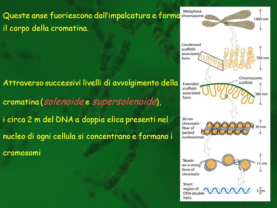 Queste anse fuoriescono dallimpalcatura e formano il corpo della cromatina. Attraverso successivi livelli di avvolgimento della cromatina ( solenoide