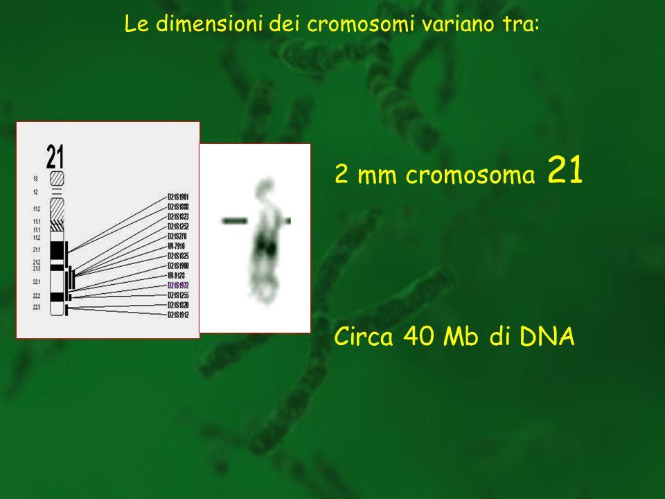 Dopo la divisione, i cromosomi aumentano la loro condensazione Alcune regioni rimangono addensate: eterocromatina - si colora con maggiore intensità; è formata da sequenze ripetute e inattive dal punto di vista trascrizionale Leterocromatina è stata distinta da Brown in due tipi: facoltativa costitutiva