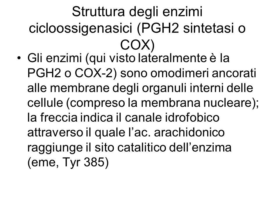 Struttura degli enzimi cicloossigenasici (PGH2 sintetasi o COX) Gli enzimi (qui visto lateralmente è la PGH2 o COX-2) sono omodimeri ancorati alle membrane degli organuli interni delle cellule (compreso la membrana nucleare); la freccia indica il canale idrofobico attraverso il quale lac.