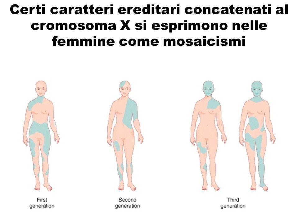 Certi caratteri ereditari concatenati al cromosoma X si esprimono nelle femmine come mosaicismi