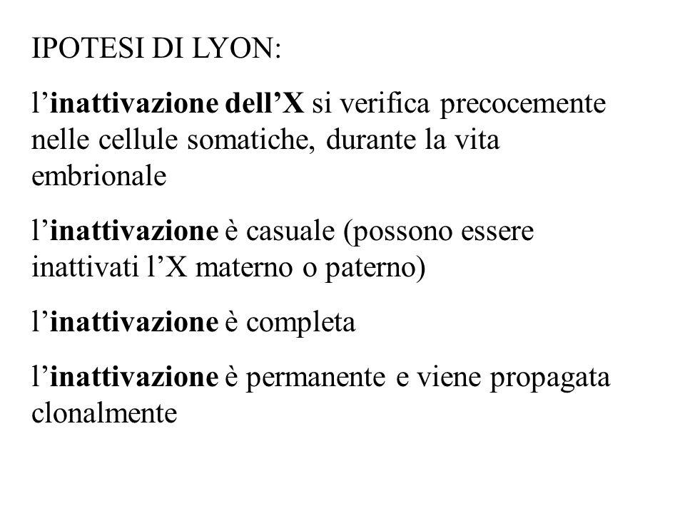 IPOTESI DI LYON: linattivazione dellX si verifica precocemente nelle cellule somatiche, durante la vita embrionale linattivazione è casuale (possono e