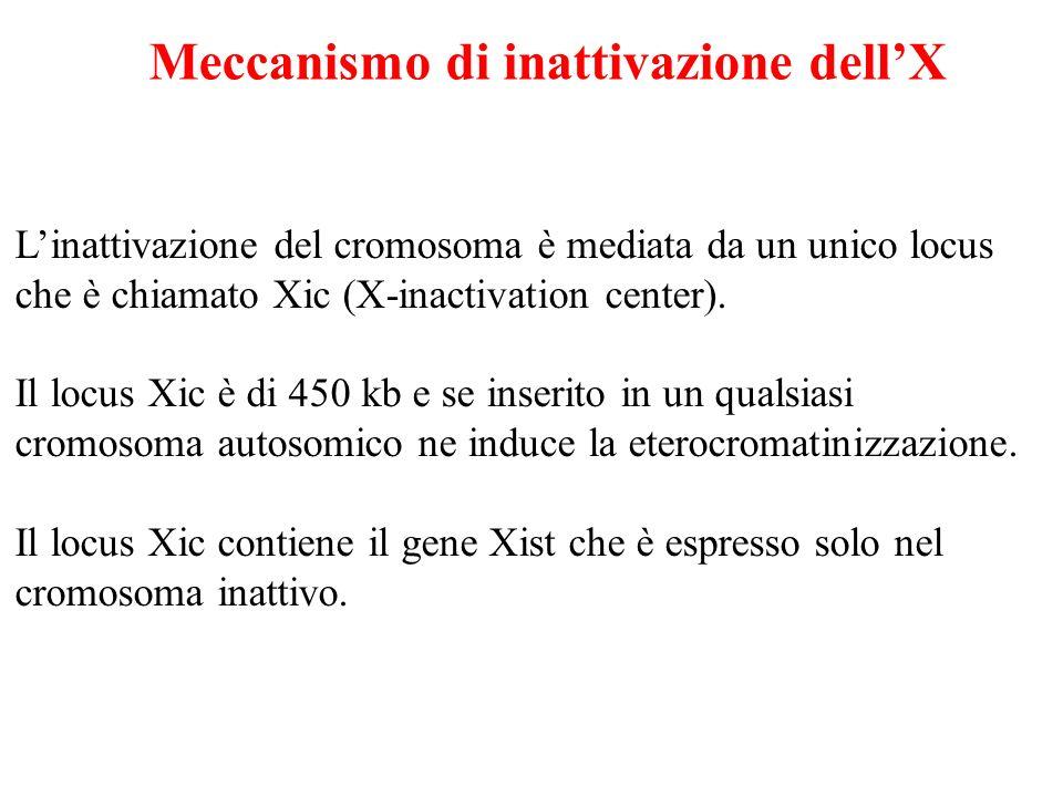 Linattivazione del cromosoma è mediata da un unico locus che è chiamato Xic (X-inactivation center). Il locus Xic è di 450 kb e se inserito in un qual