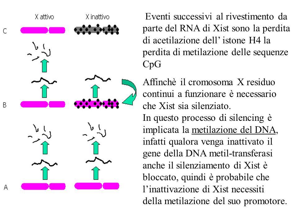 Eventi successivi al rivestimento da parte del RNA di Xist sono la perdita di acetilazione dell istone H4 la perdita di metilazione delle sequenze CpG