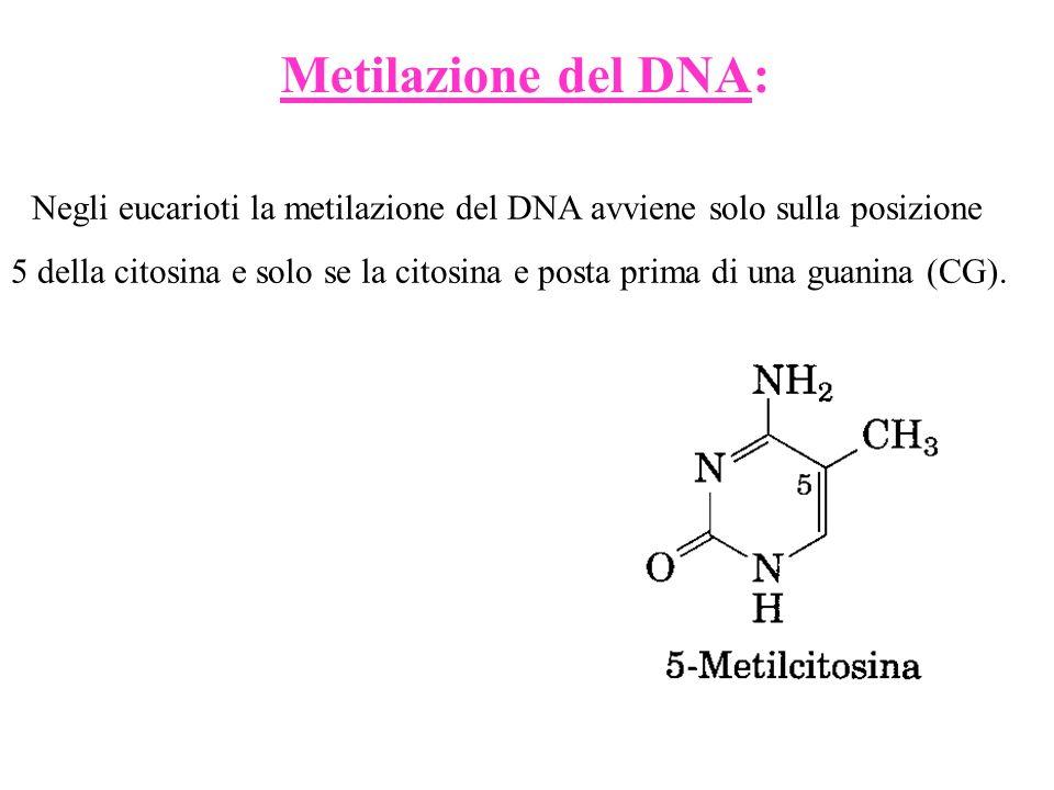 Metilazione del DNA: Negli eucarioti la metilazione del DNA avviene solo sulla posizione 5 della citosina e solo se la citosina e posta prima di una g