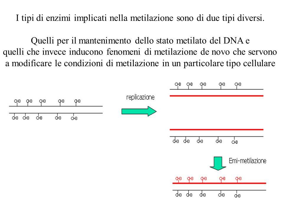 I tipi di enzimi implicati nella metilazione sono di due tipi diversi. Quelli per il mantenimento dello stato metilato del DNA e quelli che invece ind