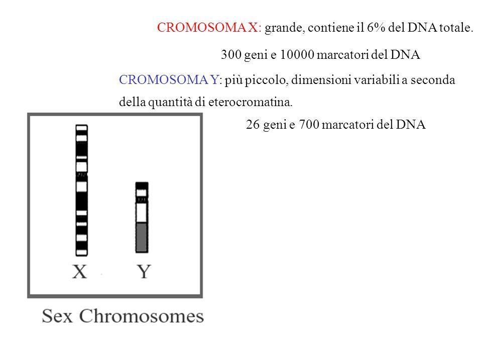 CROMOSOMA X: grande, contiene il 6% del DNA totale. 300 geni e 10000 marcatori del DNA CROMOSOMA Y: più piccolo, dimensioni variabili a seconda della