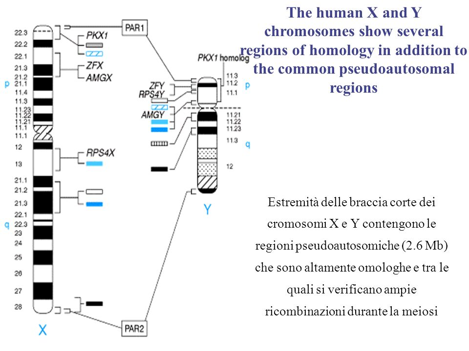 Autosomal characters in both sexes and X-linked characters in females can be dominant or recessive.