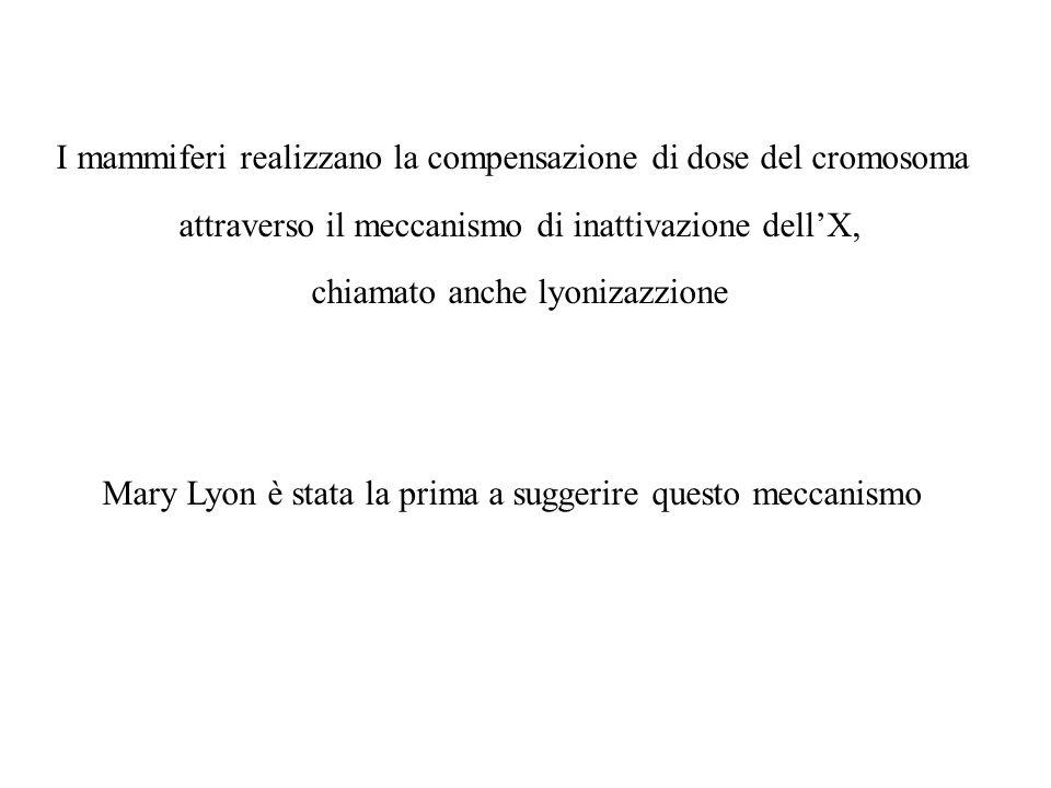I mammiferi realizzano la compensazione di dose del cromosoma attraverso il meccanismo di inattivazione dellX, chiamato anche lyonizazzione Mary Lyon