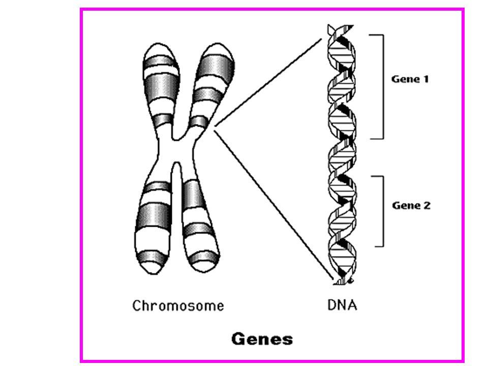 Irregolarità della trasmissione autosomica dominante Penetranza Penetranza: probabilità che un genotipo esprima il fenotipo (clinico) si esprime come una percentuale o una frazione di uno Frazione di individui con un dato genotipo (Aa) che manifestano il carattere associato con quel genotipo La penetranza incompleta di un carattere si manifesta in una proporzione di figli affetti minore di quella attesa dalle proporzioni mendeliane Molte malattie autosomiche dominanti sono a penetranza incompleta: vengono allosservazione come fenotipi che saltano una generazione Acondroplasia: penetranza del 100% Sindrome dellX Fragile ha una penetranza del 80% con il genotipo della malattia esprimono il fenotipo)