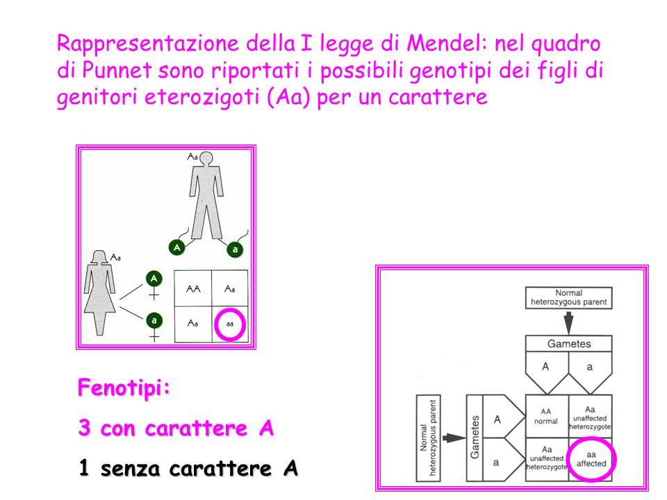 Rappresentazione della I legge di Mendel: nel quadro di Punnet sono riportati i possibili genotipi dei figli di genitori eterozigoti (Aa) per un carat