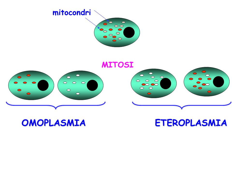 mitocondri MITOSI OMOPLASMIAETEROPLASMIA