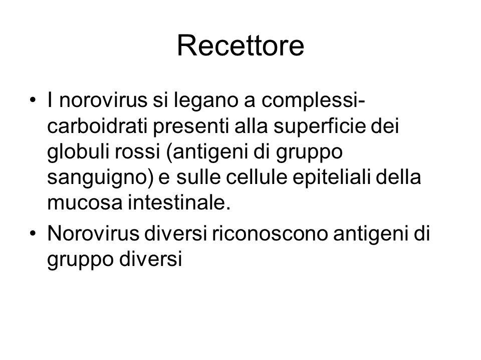 Recettore I norovirus si legano a complessi- carboidrati presenti alla superficie dei globuli rossi (antigeni di gruppo sanguigno) e sulle cellule epi