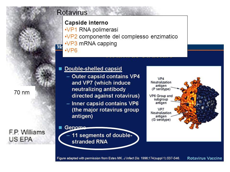 Capside interno VP1 RNA polimerasi VP2 componente del complesso enzimatico VP3 mRNA capping VP6 70 nm