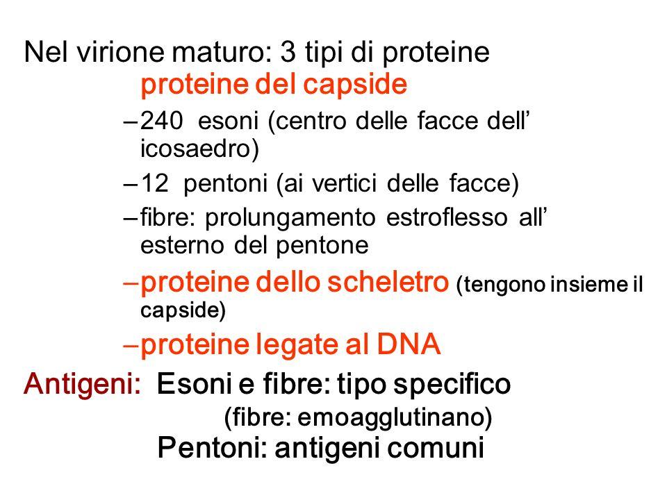 Nel virione maturo: 3 tipi di proteine proteine del capside –240 esoni (centro delle facce dell icosaedro) –12 pentoni (ai vertici delle facce) –fibre