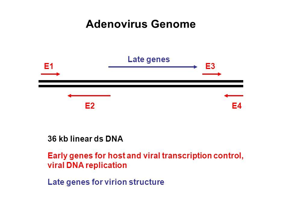E1 E2E4 E3 Late genes Adenovirus Genome 36 kb linear ds DNA Early genes for host and viral transcription control, viral DNA replication Late genes for