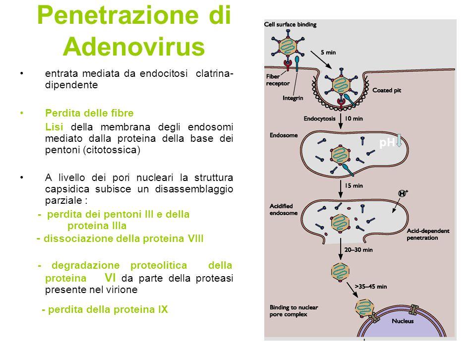 Penetrazione di Adenovirus entrata mediata da endocitosi clatrina- dipendente Perdita delle fibre Lisi della membrana degli endosomi mediato dalla pro