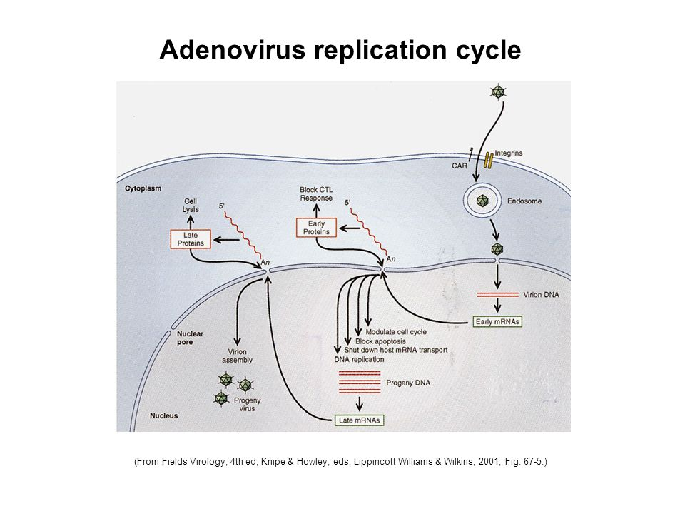 (From Fields Virology, 4th ed, Knipe & Howley, eds, Lippincott Williams & Wilkins, 2001, Fig. 67-5.) Adenovirus replication cycle