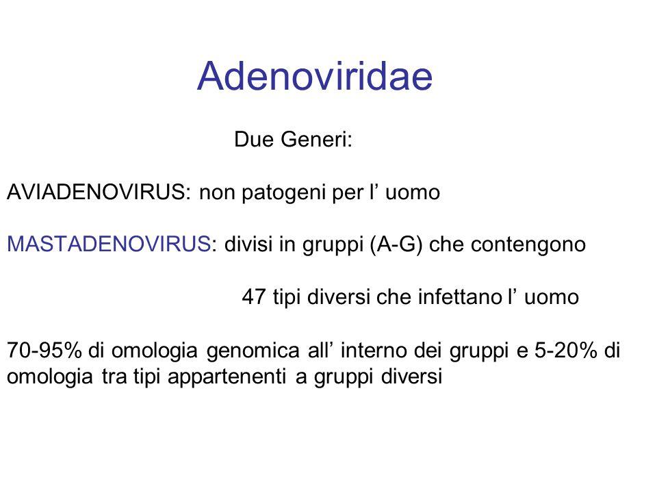 Adenoviridae Due Generi: AVIADENOVIRUS: non patogeni per l uomo MASTADENOVIRUS: divisi in gruppi (A-G) che contengono 47 tipi diversi che infettano l