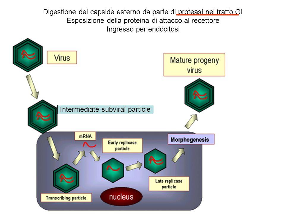 Espressione genica a fasi: IE, E, L: 20-30 proteine E1a trasformanti E1b L assemblaggio nel nucleo Antigeni sulla membrana cellulare (T ag)