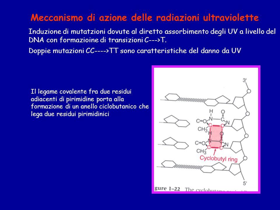Induzione di mutatzioni dovute al diretto assorbimento degli UV a livello del DNA con formazioine di transizioni C--->T.