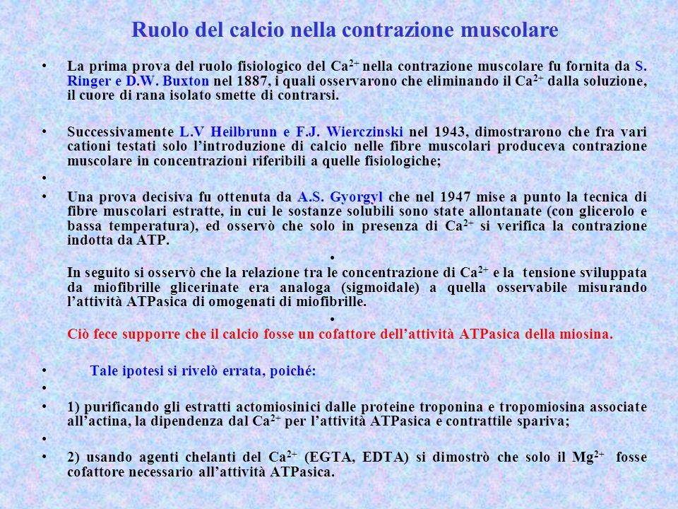La prima prova del ruolo fisiologico del Ca 2+ nella contrazione muscolare fu fornita da S.