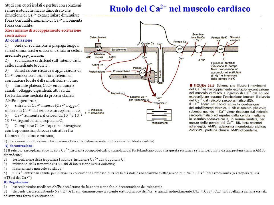 Ruolo del Ca 2+ nel muscolo cardiaco 8) interazione ponti trasversi che iniziano i loro cicli determinando contrazione miofibrille (sistole); A) decontrazione 1) Il reticolo sarcoplasmatico ricapta Ca 2+ mediante pompa del calcio stimolata dal fosfolambano dopo che questa sostanza è stata fosforilata da una protein-chinasi AMPc- dipendente; 2) fosforilazione della troponina I inibisce fissazione Ca 2+ alla troponina C; 3) inibizione della tropomiosina sui siti di interazione actina-miosina; 4) rilasciamento muscolo cardiaco; 5) il Ca 2+ entrato in cellula per iniziare la contrazione è rimosso durante la diastole dallo scambio elettrogenico di 3 Na+/ 1 Ca 2+ del sarcolemma (o ad opera di una ATPasi del Ca 2+ ) B) Regolazione 1) catecolammine mediante AMPc accellerano sia la contrazione che la decontrazione del miocardio; 2) glicosidi cardiaci, inibendo Na+/K+-ATPasi, diminuiscono gradiente elettrochimico del Na+ e quindi, indirettamente 3Na+/1Ca2+; Ca2+ intracellulare rimane elevata ed aumenta forza di contrazione Studi con cuori isolati e perfusi con soluzioni saline isotoniche hanno dimostrato che rimozione di Ca 2+ extracellulare diminuisce forza contrattile, aumento di Ca 2+ incrementa forza contrattile.
