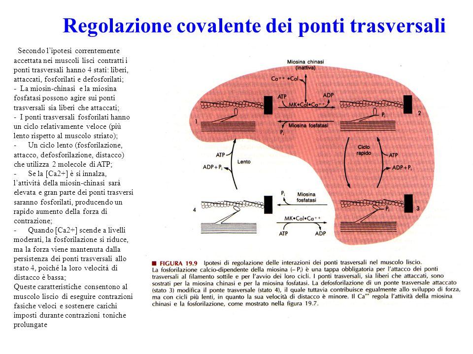 Regolazione covalente dei ponti trasversali Secondo lipotesi correntemente accettata nei muscoli lisci contratti i ponti trasversali hanno 4 stati: liberi, attaccati, fosforilati e defosforilati; - La miosin-chinasi e la miosina fosfatasi possono agire sui ponti trasversali sia liberi che attaccati; - I ponti trasversali fosforilati hanno un ciclo relativamente veloce (più lento rispetto al muscolo striato); - Un ciclo lento (fosforilazione, attacco, defosforilazione, distacco) che utilizza 2 molecole di ATP; - Se la Ca2+ è si innalza, lattività della miosin-chinasi sarà elevata e gran parte dei ponti trasversi saranno fosforilati, producendo un rapido aumento della forza di contrazione; - Quando Ca2+ scende a livelli moderati, la fosforilazione si riduce, ma la forza viene mantenuta dalla persistenza dei ponti trasversali allo stato 4, poiché la loro velocità di distacco è bassa; Queste caratteristiche consentono al muscolo liscio di eseguire contrazioni fasiche veloci e sostenere carichi imposti durante contrazioni toniche prolungate