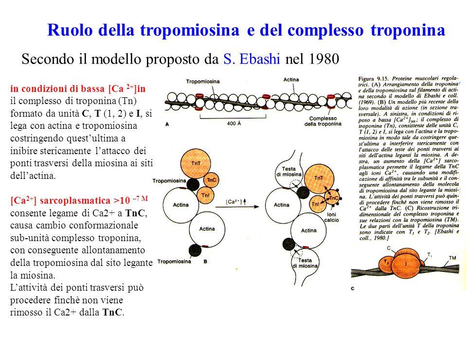Ruolo della tropomiosina e del complesso troponina in condizioni di bassa [Ca 2+ ]in il complesso di troponina (Tn) formato da unità C, T (1, 2) e I, si lega con actina e tropomiosina costringendo questultima a inibire stericamente lattacco dei ponti trasversi della miosina ai siti dellactina.