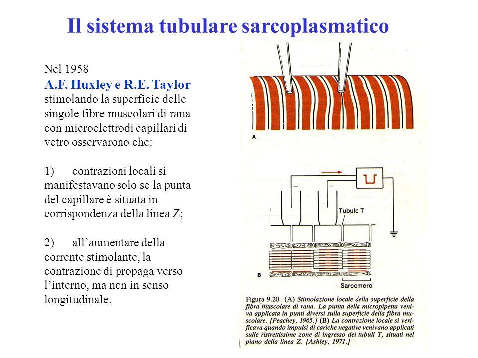 Le fotografie al microscopio elettronico hanno fornito i correlati anatomici a queste scoperte: 1) intorno al perimetro di ogni miofibrilla decorre un tubulo trasverso (tubulo T) con diametro inferiore a 0,1 m, che si ramifica in modo da risultare continuo con i tubuli che circondano miofibrille vicine; 2) il sistema di Tubuli T arriva fino alla membrana superficiale, cui è collegato; 3) è in comunicazione con lo spazio extracellulare come confermato dal fatto che la ferritina e la perossidasi di rafano (molecole proteiche opache agli elettroni) aggiunte al mezzo di incubazione, penetrano nei tubuli T.