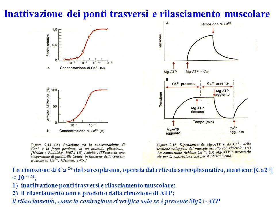La rimozione di Ca 2+ dal sarcoplasma, operata dal reticolo sarcoplasmatico, mantiene [Ca2+] < 10 -7 M, 1) inattivazione ponti trasversi e rilasciamento muscolare; 2) il rilasciamento non è prodotto dalla rimozione di ATP; il rilasciamento, come la contrazione si verifica solo se è presente Mg2+-ATP Inattivazione dei ponti trasversi e rilasciamento muscolare