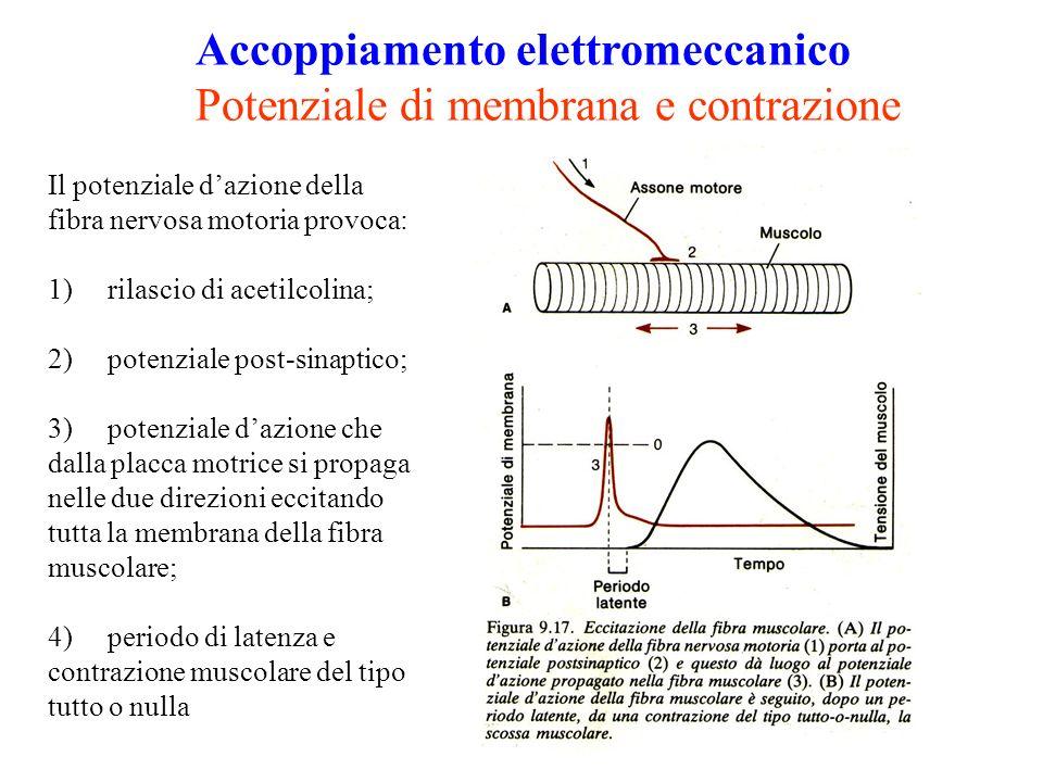Accoppiamento elettromeccanico Potenziale di membrana e contrazione Il potenziale dazione della fibra nervosa motoria provoca: 1) rilascio di acetilcolina; 2) potenziale post-sinaptico; 3) potenziale dazione che dalla placca motrice si propaga nelle due direzioni eccitando tutta la membrana della fibra muscolare; 4) periodo di latenza e contrazione muscolare del tipo tutto o nulla