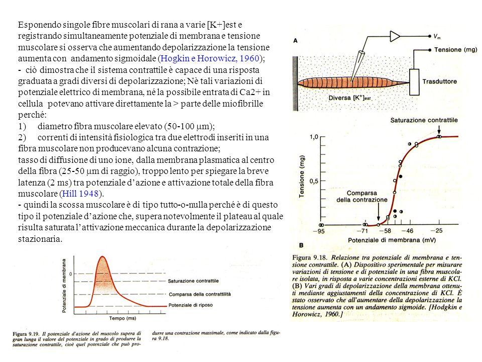 Esponendo singole fibre muscolari di rana a varie [K+]est e registrando simultaneamente potenziale di membrana e tensione muscolare si osserva che aumentando depolarizzazione la tensione aumenta con andamento sigmoidale (Hogkin e Horowicz, 1960); - ciò dimostra che il sistema contrattile è capace di una risposta graduata a gradi diversi di depolarizzazione; Nè tali variazioni di potenziale elettrico di membrana, né la possibile entrata di Ca2+ in cellula potevano attivare direttamente la > parte delle miofibrille perché: 1) diametro fibra muscolare elevato (50-100 m); 2) correnti di intensità fisiologica tra due elettrodi inseriti in una fibra muscolare non producevano alcuna contrazione; tasso di diffusione di uno ione, dalla membrana plasmatica al centro della fibra (25-50 m di raggio), troppo lento per spiegare la breve latenza (2 ms) tra potenziale dazione e attivazione totale della fibra muscolare (Hill 1948).