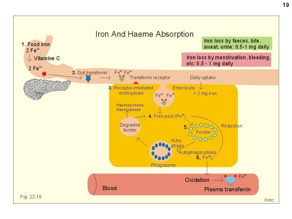 18 Assorbimento duodenale e escrezione di Fe Assorbimento Poco efficiente Normale: <10% In caso di deficit di Fe: 30% Fabbisogno: 1 mg/die per soggetti sani e normali 3 mg/die per donne mestruanti 3-6 mg/die durante gravidanza e allattamento Escrezione Per via urinaria e sudorifera: poco efficiente Via primaria di escrezione: perdita di cellule Epidermide Mucosa intestinale, 1 mg/die Sangue: mestruo (0.5-1 g/die) emorragie, versamenti etc
