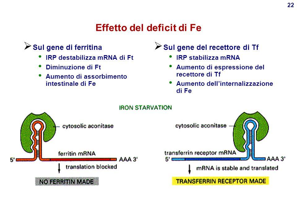 21 Regolazione molecolare del deficit/sovraccarico di Fe Iron Regulatory Protein (IRP o aconitasi) risponde a [Fe] Si lega a Iron Responsive Element (IRE) su mRNA di Ft-H, Ft- L, ALA sintasi e recettore della Tf
