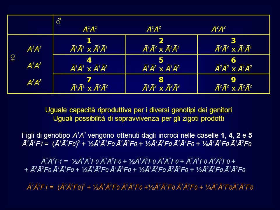 Uguale capacità riproduttiva per i diversi genotipi dei genitori Uguali possibilità di sopravvivenza per gli zigoti prodotti Figli di genotipo A 1 A 1