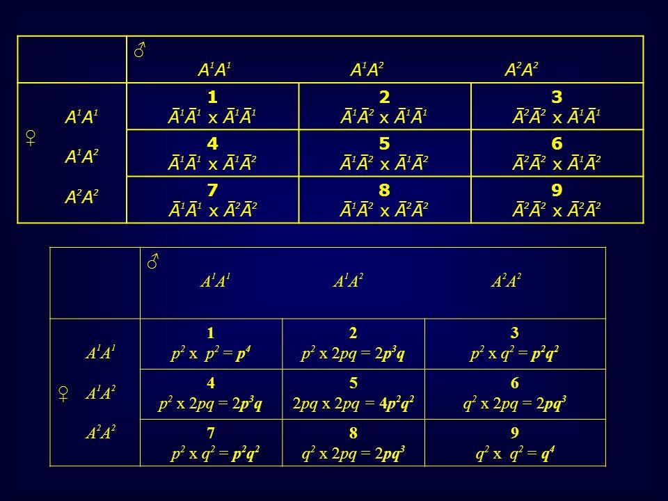 A 1 A 1 A 1 A 2 A 2 A 2 A 1 A 1 A 1 A 2 A 2 A 2 1 p 2 x p 2 = p 4 2 p 2 x 2pq = 2p 3 q 3 p 2 x q 2 = p 2 q 2 4 p 2 x 2pq = 2p 3 q 5 2pq x 2pq = 4p 2 q