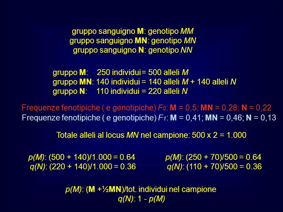 p(M): (250 + 70)/500 = 0.64 q(N): (110 + 70)/500 = 0.36 gruppo sanguigno M: genotipo MM gruppo sanguigno MN: genotipo MN gruppo sanguigno N: genotipo