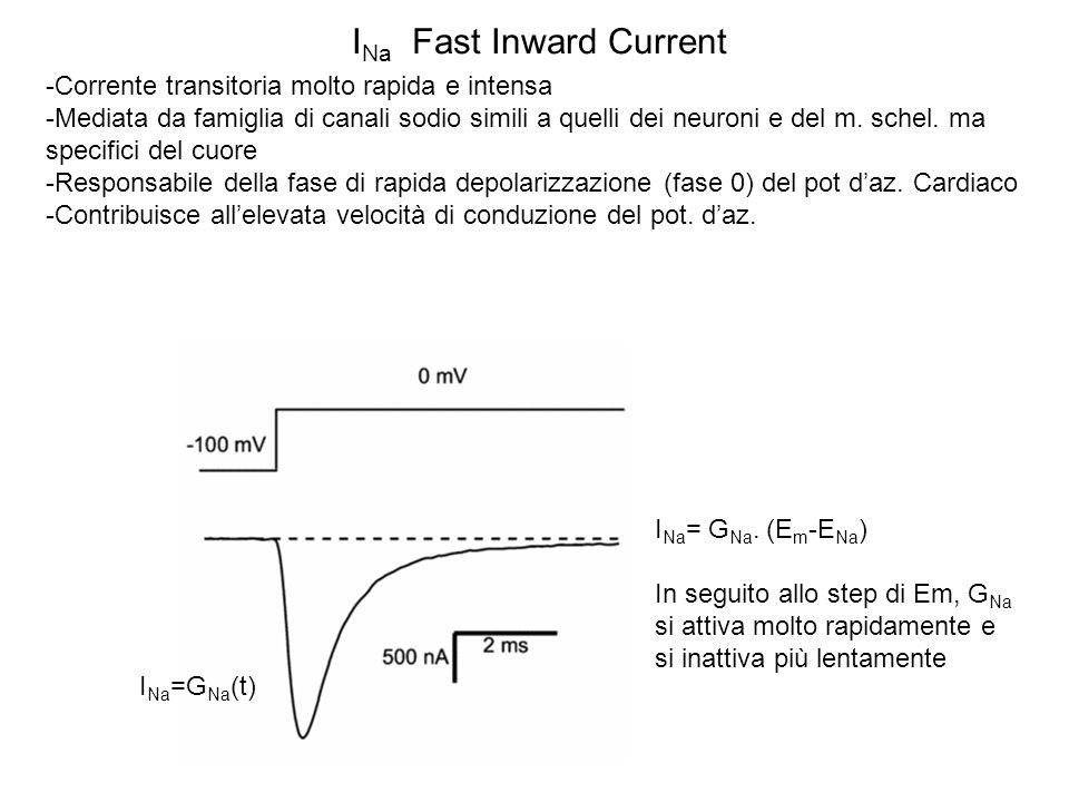 I Na Fast Inward Current -Corrente transitoria molto rapida e intensa -Mediata da famiglia di canali sodio simili a quelli dei neuroni e del m. schel.