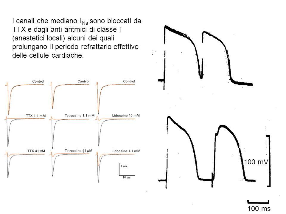 100 ms 100 mV I canali che mediano I Na sono bloccati da TTX e dagli anti-aritmici di classe I (anestetici locali) alcuni dei quali prolungano il peri