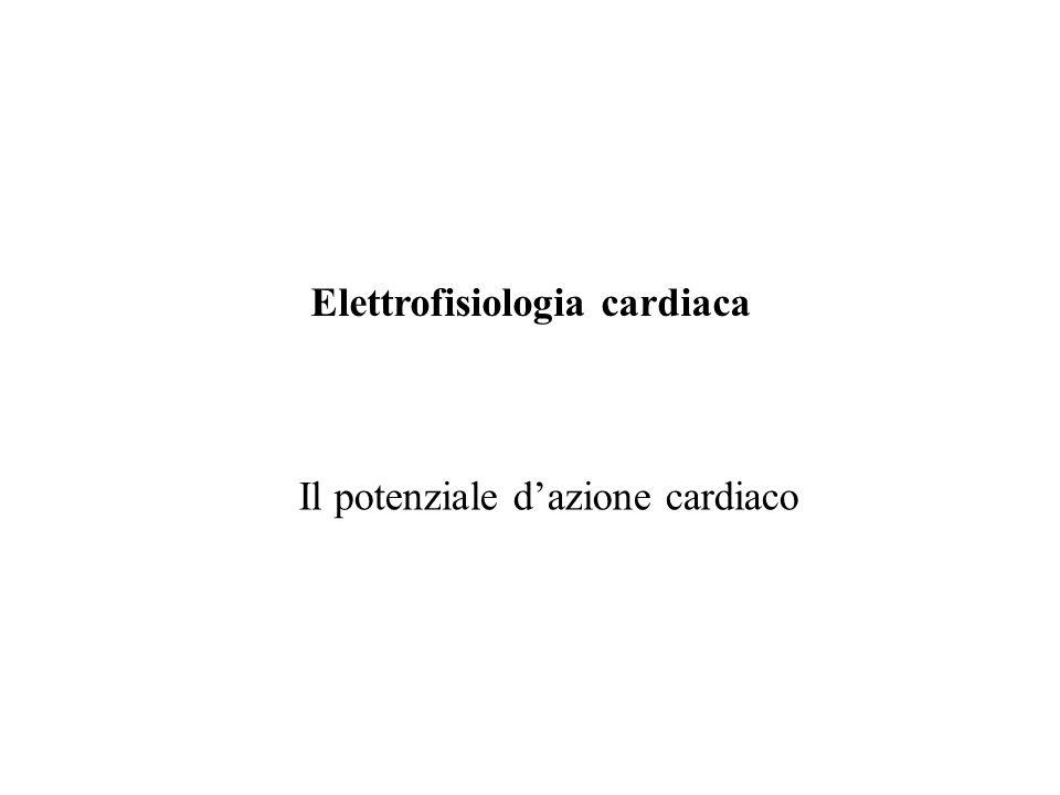100 ms 100 mV I canali che mediano I Na sono bloccati da TTX e dagli anti-aritmici di classe I (anestetici locali) alcuni dei quali prolungano il periodo refrattario effettivo delle cellule cardiache.